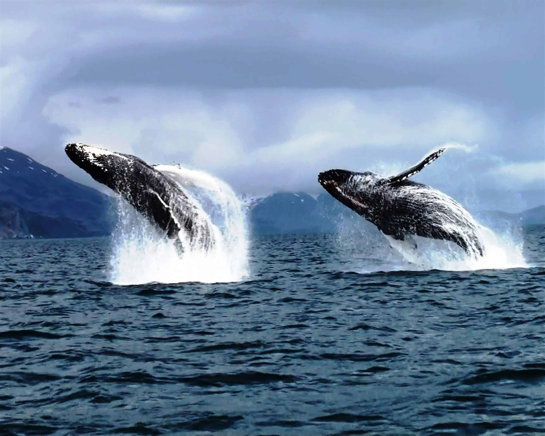 Alaskan Whales